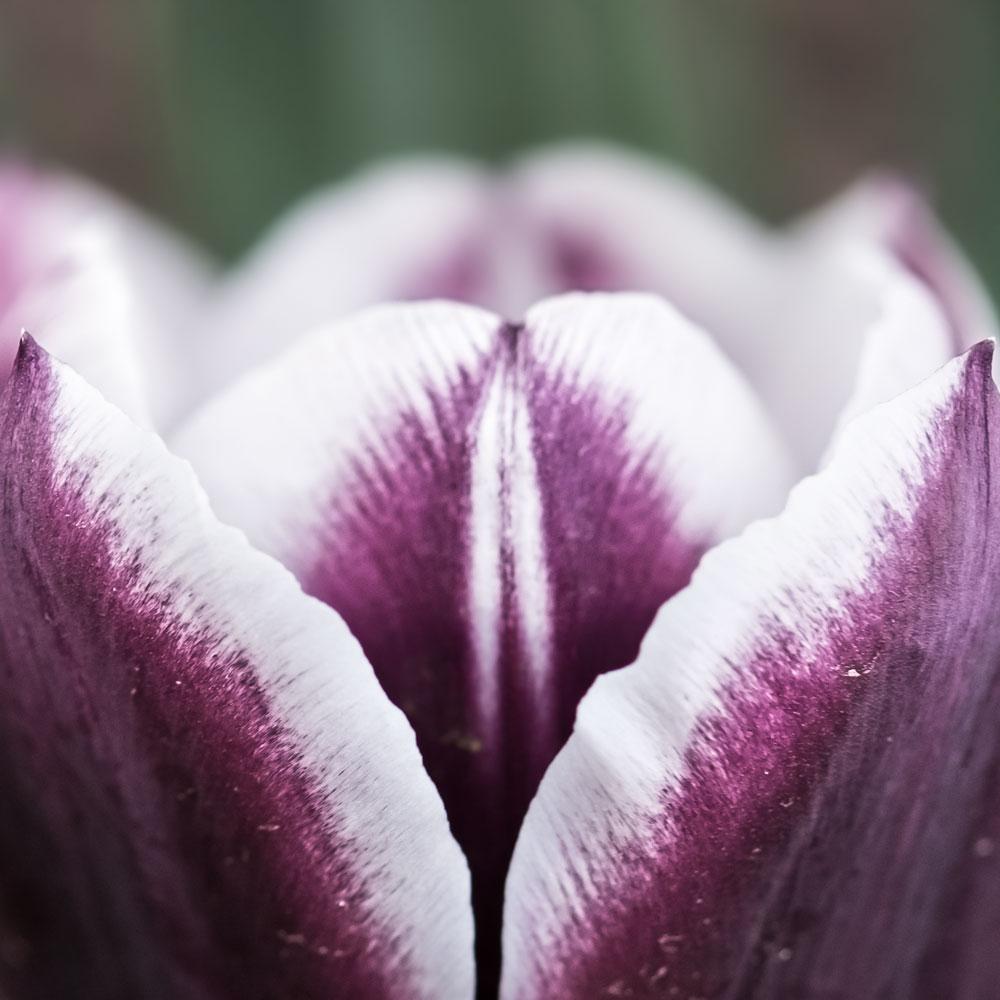 purple-tulip.jpg